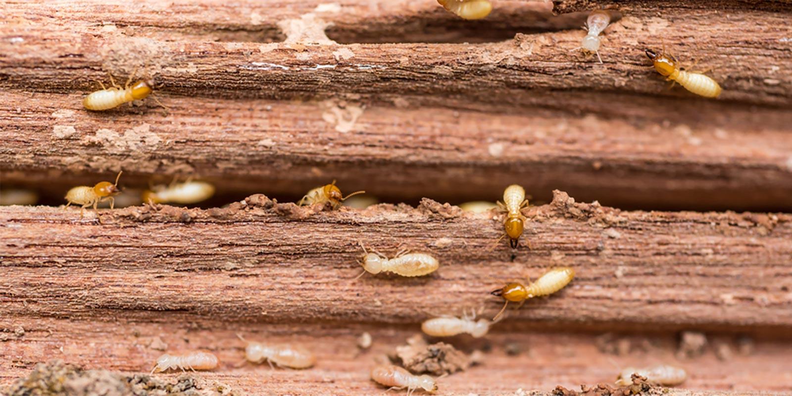 Termite Control - Hannibal, MO